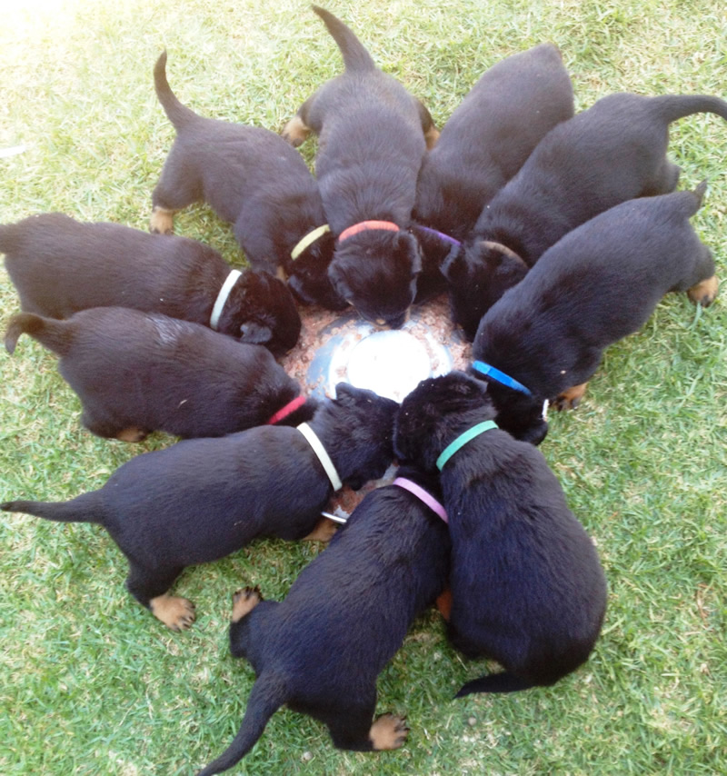 3 Steps to owning a puppy | Meisterhunde Rottweilers | High Quality