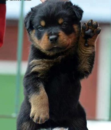 About Us | Meisterhunde Rottweilers | High Quality German Rottweiler