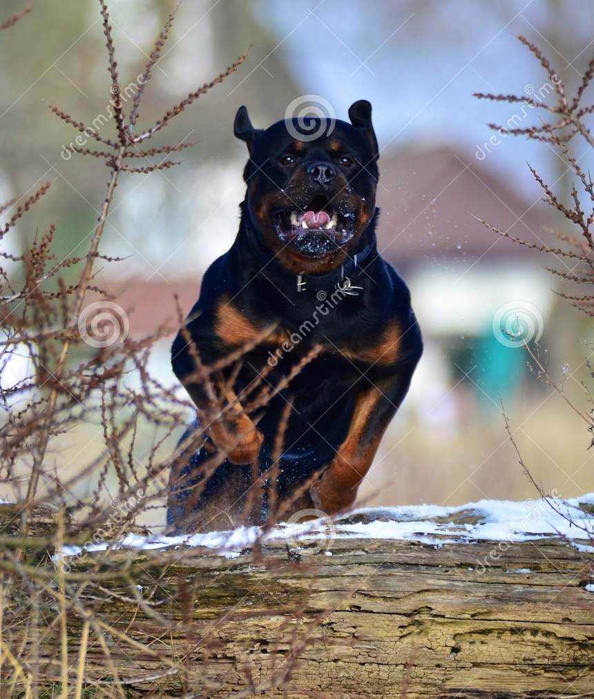 http://www.dreamstime.com/royalty-free-stock-photos-rottweiler-jumping-log-image29167028