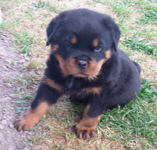 Home | Meisterhunde Rottweilers | High Quality German