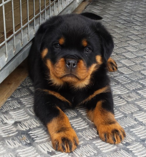 Home Meisterhunde Rottweilers High Quality German Rottweiler