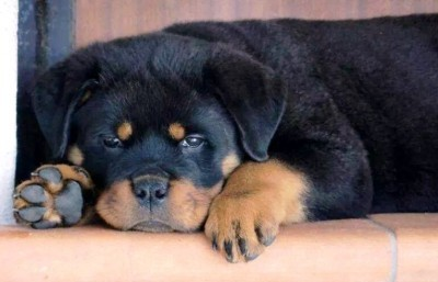 Our Puppy Guarantee | Meisterhunde Rottweilers | High Quality German