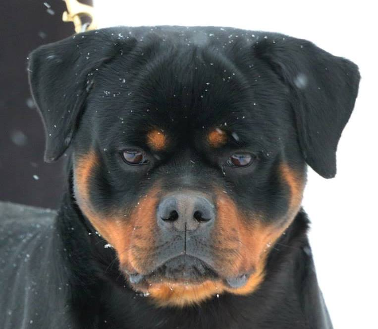 Hip Amp Elbow Dysplasia Meisterhunde Rottweilers High