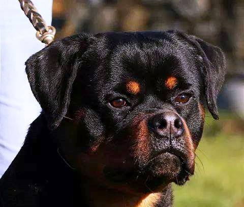 How Often Amp How Much To Feed Meisterhunde Rottweilers