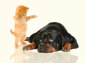 Rottweiler Looking Up To Kitten