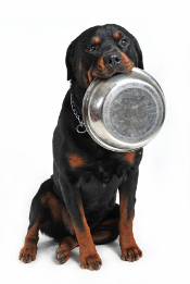 rottweiler carrying his aluminium bowl in his mouth