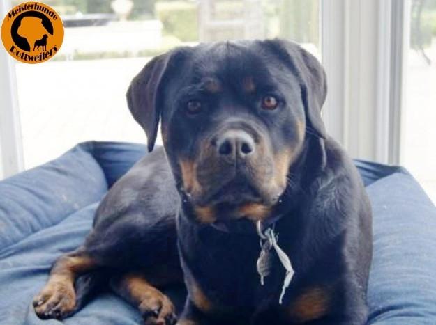 Meisterhunder Tilly